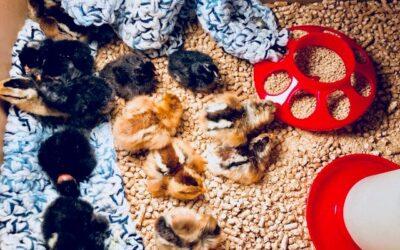 Classroom Highlight: 3rd Grade Baby Chickens